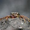 Crab-Oahu_Hawaii-8544