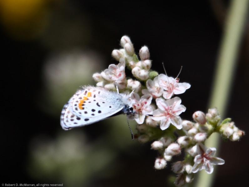 Euphilotes_Horn Canyon_Ventura Co_CA-5952