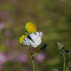Checkered White_Ormond Beach_ventura Co_CA 008-3
