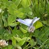 Silvery Blue_Swan Lk_Tupper_BC_Canada-002399
