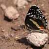 Bordered Patch_Chiricahua NM_AZ-2198