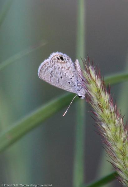 Ceraunus Blue_Davenport Ranch_Atascosa County_TX-1727