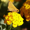 Skipper_Chandler_Maricopa Co_AZ-6652
