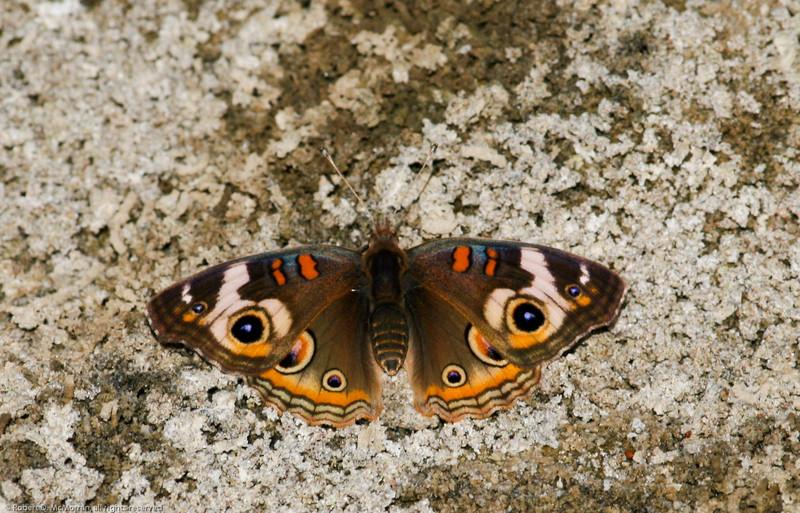Common Buckeye_SCRE_Ventura Co_CA-013