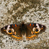 Common Buckeye_SCRE_Ventura Co_CA-013