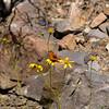 Sagebrush Checkerspot_Death Valley_CA-343-3