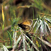 Common Ringlet_Ormond Beach_Ventura Co_CA-002