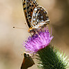 Fritillary_Eagle Lake_Lassen County_CA-9524