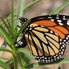 Monarch-Ventura_VenCo_CA-0162