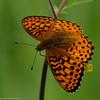 Fritillary_Beatton Provincial Park_BC_Canada-238