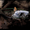 Nabokov's Satyr- Madera Canyon-AZ- 8-29-2004_2-2