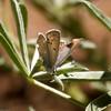 Boisduval's Blue_Pine Mountain_Ventura Co_CA-6093