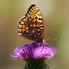 Fritillary_Eagle Lake_Lassen County_CA-9533