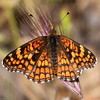Gabb's Checkerspot_SisarCyn_Ventura Co_CA-0347