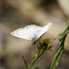Northern-White-skipper-CA-9337