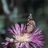 Painted Lady- Garden Canyon-SE Arizona- 8-28-2004_4