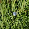 Silvery Blue_Tupper_BC_Canada-352-2