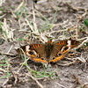 Common Buckeye_Rio Grande Valley_TX-358