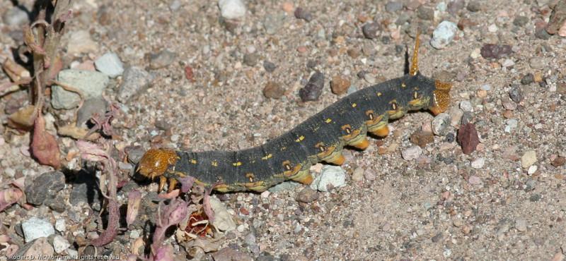 Caterpillar_DeathV_CA 426