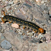 Caterpillar_Death Valley_CA-427