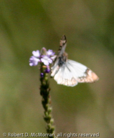 Butterfly_Rio Grande Valley_TX-120