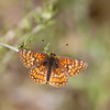 Gabb's Checkerspot_HornCyn_Ventura Co_CA-0614