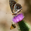 Fritillary_Eagle Lake_Lassen County_CA-9530
