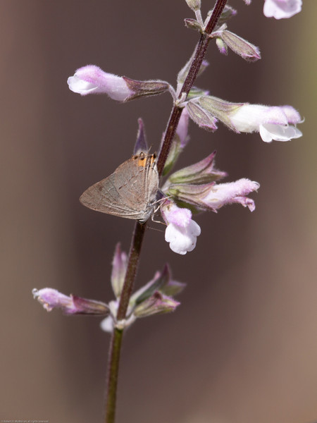 Gray-Hairstreak-Ventura_VenturaCo_CA-8228