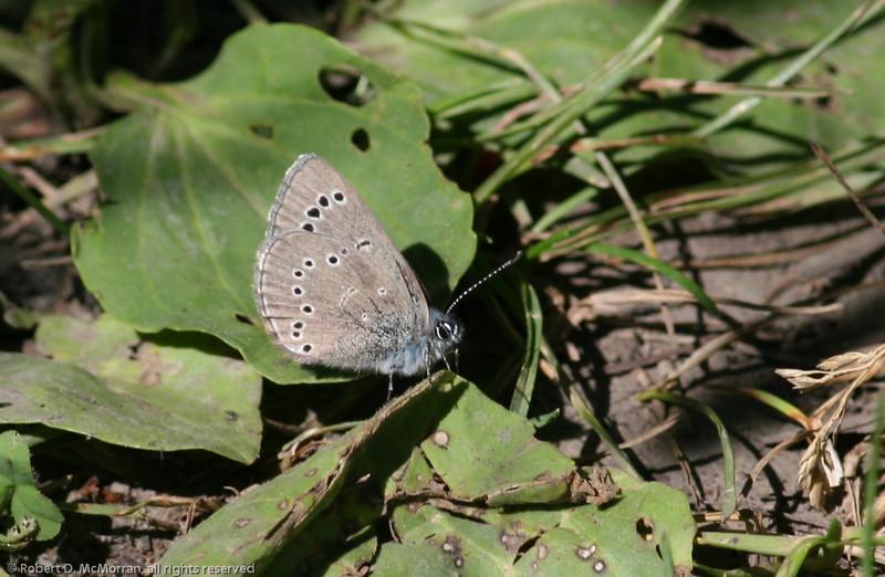 Silvery Blue_Tupper_BC_Canada-349