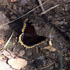 Mourning Cloak- Madera Canyon-SE Arizona- 8-31-2004_2
