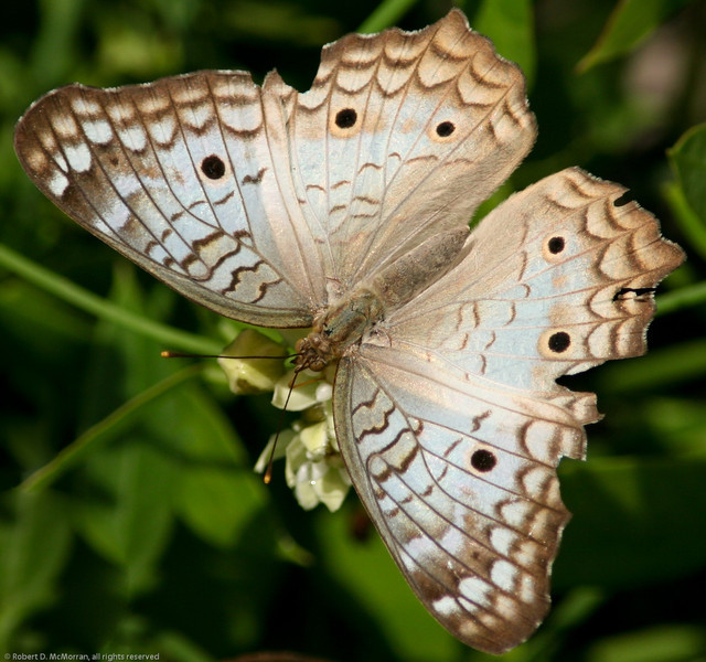 Butterfly_Tulum_Quintana Roo_Mexico-314