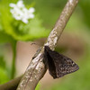 Duskywing_NCTC_WV -8218
