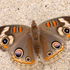 Common Buckeye_Santa Clara River Estuary_Ventura Co_CA-1613