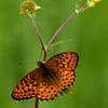 Fritillary_Beatton Provincial Park_BC_Canada-239-2