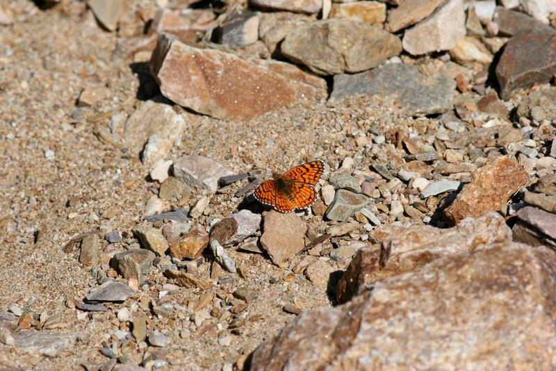 Sagebrush Checkerspot_Death Valley_CA-337-2
