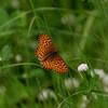 Fritilllary G_Beatton Provincial Park_BC_Canada-157-2