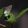 Gray Hairstreak_Ventura_Ventura Co_CA-8842