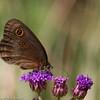 Butterfly_Mpala_Kenya-5704
