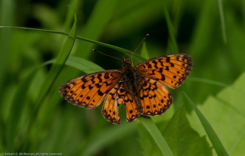 Fritilllary L_Beatton Provincial Park_BC_Canada-159