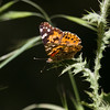 Painted Lady- VenCo_CA_6147