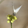 Northern-White-skipper-CA-9339