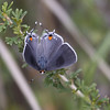 Gray-Hairstreak-SE_AZ-7352