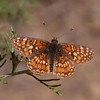 Gabb's Checkerspot_HornCyn_Ventura Co_CA-0609