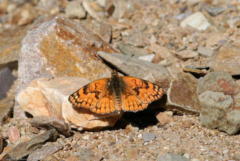 Sagebrush Checkerspot_Death Valley_CA-394
