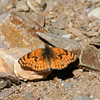Sagebrush Checkerspot_Death Valley_CA-394