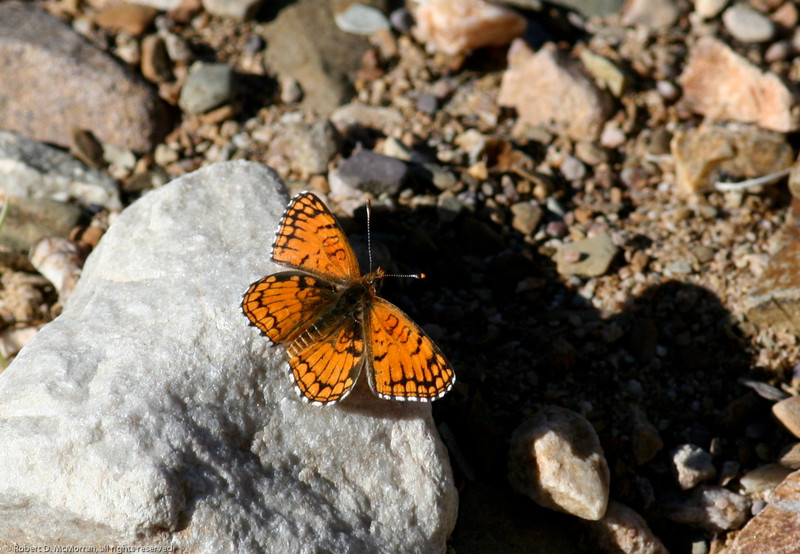 Sagebrush Checkerspot_Death Valley_CA-326
