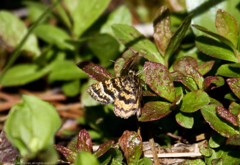 Moth-Ormond-Lk--BC_Canada-0918