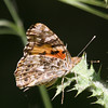 Painted Lady- VenCo_CA_6144