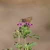Orange-edged Roadside-skipper_Chiricahua Mtns_AZ-2323-1