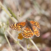 Gabb's Checkerspot_HornCyn_Ventura Co_CA-0604